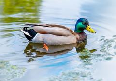 Duck Tails (Repp1) Tags: bc amblesidepark canada male swimming duck mallard canard westvancouver colvert mâle drake nageant
