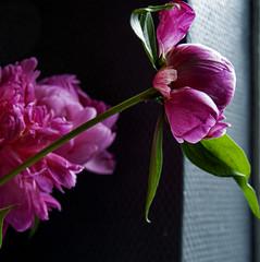 Peonies II (CloudBuster) Tags: peonies pioenrozen natuur nature spring voorjaar bloei rose pink groen