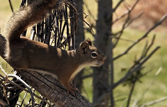 Red squirrel (pamfromcalgary) Tags: animal squirrel redsquirrel southernalberta pamhawkes