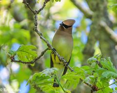 Cedar Waxwing (Bombycilla cedrorum) (Betsy McCully) Tags: newyorkbirds cedarwaxwing bombycillacedrorum waxwings