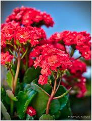 DSCF0145 (DrOpMaN®) Tags: darktable flowersplants fuji fujifilm korhankumral outdoor xe2 xc1650mmf3556ois m43turkiye