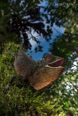 Lagarto de ojos rojos/ Red-eyed wood lizard (Enyalioides oshaughnessyi) (Jacobo Quero) Tags: enylioidesoshaughnessyi lagarto lizard ecuador animal reptile herping reptil green wildlife