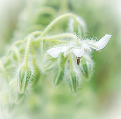 White Borage (judy dean) Tags: garden judydean june 2019 35mm flowers borage white herb