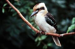 Laughing Kookaburra (JRW Photo Gallery) Tags: bird nature kookaburra