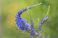 Spring flowers 058 (George Ino) Tags: bloemen flowers georgeinocopyright georgeinohotmailcom natuurnaturenatur thenetherlandsnederlandholland utrecht flor floração efflorescence fiore fioritura dofbokeh depthoffield blauw blue bleu
