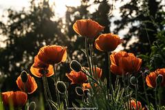 Evening Poppies - June 2019 V (boettcher.photography) Tags: sashahasha germany deutschland badenwürttemberg rheinneckarkreis kurpfalz juni june sommer summer boettcherphotography boettcherphotos dilsberg neckargemünd poppy poppies mohn mohnblume blume flower blüten blossoms natur nature