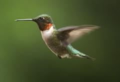 ruby throated hummingbird (watts photos1) Tags: red throated hummingbird humming bird birds flight wings bif fly hover nature wild life wildlife ruby