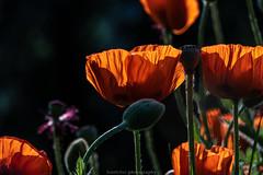 Evening Poppies - June 2019 VI (boettcher.photography) Tags: summer flower nature june juni germany deutschland sommer natur blossoms poppy poppies blume blüten neckargemünd mohn dilsberg badenwürttemberg mohnblume kurpfalz rheinneckarkreis sashahasha boettcherphotography boettcherphotos