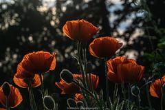 Evening Poppies - June 2019 IV (boettcher.photography) Tags: sashahasha germany deutschland badenwürttemberg rheinneckarkreis kurpfalz juni june sommer summer boettcherphotography boettcherphotos dilsberg neckargemünd poppy poppies mohn mohnblume blume flower blüten blossoms natur nature
