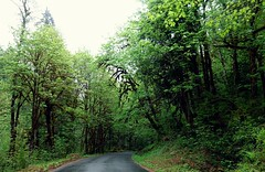 Mossy Trees (pris matic) Tags: mossytrees mthood driving to the salmonrivertrail zigzag welches rhododendron oregon pacificnorthwest pnw
