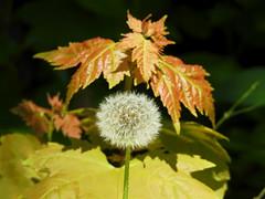 A dandelion puff ball (mid bloom) at Mud Lake in Nepean (Ottawa), Ontario (Ullysses) Tags: dandelion taraxacumofficinale puffball seedhead midbloom mudlake nepean ottawa ontario canada spring printemps