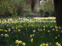 Hampton Court Gardens. (Gary Smithers.) Tags: hampton court gardens daffodils narcissi