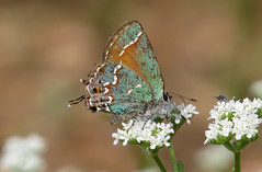 Juniper Hairstreak (ninjabirder) Tags: april2019 juniperhairstreak butterflies leps