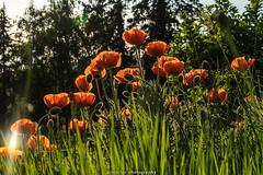 Evening Poppies - June 2019 VIII (boettcher.photography) Tags: sashahasha germany deutschland badenwürttemberg rheinneckarkreis kurpfalz juni june sommer summer boettcherphotography boettcherphotos dilsberg neckargemünd poppy poppies mohn mohnblume blume flower blüten blossoms natur nature
