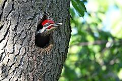 Pileated Woodpecker (kevinwg) Tags: pileated woodpecker pileatedwoodpecker bird tree woods nest nesting hole cavity male