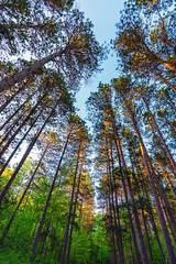 St. Croix State Park Trees (Tony Webster) Tags: minnesota saintcroixstatepark stcroixstatepark forest lookingup nature summer trees crosbytownship unitedstatesofamerica