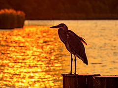 Heron resting at sunset (Steppenwolf33) Tags: sunset müggelsee köpenick heron steppenwolf33 lake water