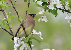 Wax Job (Photos By JM) Tags: colonelsamuelsmithpark nature birds waxwings