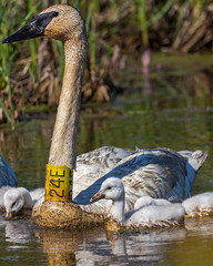 Trumpeter Swan with young (AChucksEyeView) Tags: trumpeter swan cygnet wildlife marsh wetland nature water grass babies wisconsin bird feathers