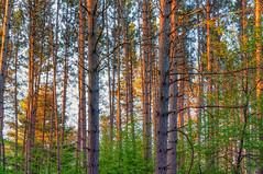 Forest at St. Croix State Park, Minnesota (Tony Webster) Tags: minnesota saintcroixstatepark stcroixstatepark forest morning sunrise trees crosbytownship unitedstatesofamerica