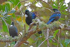 Tui (bevanwalker) Tags: d750 nikon 300mmf28tc17e11 lens bird animal tree fresh sky time winter photography plant song outdoor native nature wildlife pose singing beak feathers moment camera colour image fun paradise outside happy laughter 2019 newzealand