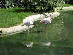 Rosa Flamingos (✿ Esfira ✿) Tags: tiergartenschönbrunn viennazoo rosaflamingos greaterflamingos wien vienna österreich austria