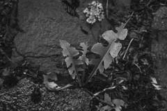dandelion leaves, after the rain, lichen, stone pavers, early evening,  Asheville, NC, Nikon D3300, mamiya sekor 45mm f-2.8, 6.8.19 (steve aimone) Tags: dandelion dandelionleaves rain pavers stone lichen earlyevening asheville northcarolina nikond3300 mamiyasekkor45mmf28 mamiyaprime primelens blackandwhite monochrome monochromatic macro