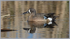 """Superposed"" Blue-winged teal (♂) (Ludo (Lone wolf) Bogaert.) Tags: xp"
