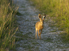 The Friendly Young Hare -- 2 (stevedewey2000) Tags: animal hare brownhare sonya99 sony70400g young wildlife salisburyplain wiltshire leveret
