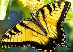 In a Gadda Da Vida, Honey Don't you know that I'm lovin' You ~ Iron Butterfly (Karnevil) Tags: usa nc northcarolina apex cary raleigh pittsboro chapelhill chatham wake durham orangecounty jordanlake lake jordan jordanlakedam beverettjordan usarmycorpsofengineers hawriver insect butterfly larvae caterpillars yellow blue animalia euarthropoda insecta lepidoptera rhopalocera hedyloidea hedylidae papilionoidea hesperiidae lycaenidae nymphalidae papilionidae pieridae riodinidae papiliomachaon ironbutterfly inagaddadavida zoom zoomshot 2xteleconverter teleconverter 400mm sonyalpha alpha a9 petekreps inagardenofeden