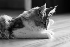 Maine coon (GemMoth) Tags: kami cat chat mainecoon bw