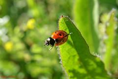 Coccinelle à sept points (Ezzo33) Tags: coccinelleàseptpoints coccinellaseptempunctata france gironde nouvelleaquitaine bordeaux ezzo33 nammour ezzat sony rx10m3 parc jardin insecte insectes