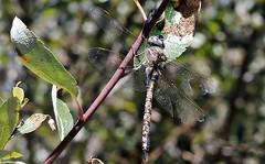 Hanging from a willow (TJ Gehling) Tags: insect odonata anisoptera dragonfly aeshnidae darner blueeyeddarner rhionaeschna rhionaeschnamulticolor plant tree willow salix albanyhill cerritocreek albanyca