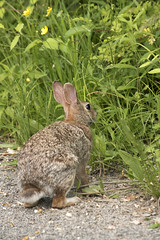 Eastern Cottontail Rabbit (Neil DeMaster) Tags: animal banpesticides brown browneye bunny conservation conservenature cottontail cottontailrabbit detail ears easterncottontailrabbit eye fur furry fuzzy fuzzybunny grass hairy keepourairclean keeppubliclandspublic mammal nature naturephotography outdoor outdoorphotography protectnature protectourenvironment protectwildlife rabbit soft sylvilagusfloridanus wildlife wildlifephotography