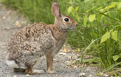 Eastern Cottontail Rabbit (Neil DeMaster) Tags: brown bunny animal conservation browneye cottontail conservenature banpesticides hairy detail rabbit eye nature grass fur mammal furry soft fuzzy outdoor wildlife ears naturephotography fuzzybunny sylvilagusfloridanus cottontailrabbit wildlifephotography outdoorphotography easternribbonsnake protectnature protectwildlife easterncottontailrabbit protectourenvironment rabbiteatinggrass keeppubliclandspublic keepourairclean cottontailrabbiteatinggrass