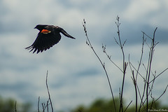 Photographer! Fly Away! (Fly Sandman) Tags: bird redwingedblackbird flight homesteadnationalmonument clouds sky limbs bokeh trees escape male