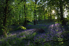 Memories of May (PJ Swan) Tags: bluebells england county durham great high woods britain evening springtime