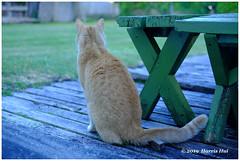 Homeward Bound - Kitty Kitty XT7077e (Harris Hui (in search of light)) Tags: harrishui fujixt1 digitalmirrorlesscamera fuji fujifilm vancouver richmond bc canada vancouverdslrshooter mirrorless fujixambassador xt1 fujixcamera fujixseries fujix fujixf35mmf2 fujiprimelens fixedlens standardlens kittykitty pet cat feline visitor backyard homeward homewardbound neighbourhood looking catfreind