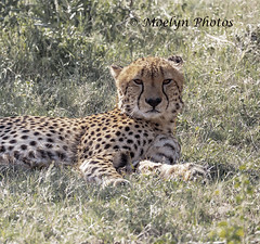 Male Cheetah in the Grass (moelynphotos) Tags: cheetah bigcat feline animalwildlife animalinthewild safarianimal adventure travel spotted lyingdown atrest lookingatthecamera nopeople grass grassarea limpopoprovince southafrica welgevondenprivategamereserve africa moelynphotos