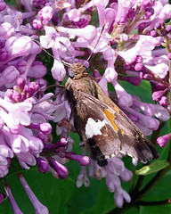 Silver-Spotted Skipper (Bruce Bolin) Tags: