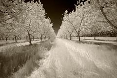_DSC1246 Cherry Orchard, Leelanau Co MI (Charles Bonham) Tags: cherryorchards grass cherrytrees leelanaupeninsula leelanauco michigan infrared sepia cherryblossoms sonya7r sonyzeissfe1635mmf4 charlesbonhamphotography