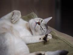 20190424_22_LR (enno7898) Tags: panasonic lumix lumixg9 dcg9 xvario 35100mm f28 cat pet abyssinian