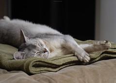 20190424_31_LR (enno7898) Tags: panasonic lumix lumixg9 dcg9 xvario 35100mm f28 cat pet abyssinian
