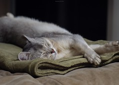 20190424_30_LR (enno7898) Tags: panasonic lumix lumixg9 dcg9 xvario 35100mm f28 cat pet abyssinian