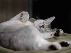 20190424_16_LR (enno7898) Tags: panasonic lumix lumixg9 dcg9 xvario 35100mm f28 cat pet abyssinian