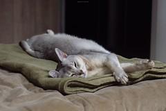 20190424_28_LR (enno7898) Tags: panasonic lumix lumixg9 dcg9 xvario 35100mm f28 cat pet abyssinian