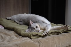 20190424_26_LR (enno7898) Tags: panasonic lumix lumixg9 dcg9 xvario 35100mm f28 cat pet abyssinian