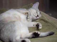 20190424_02_LR (enno7898) Tags: panasonic lumix lumixg9 dcg9 xvario 35100mm f28 cat pet abyssinian