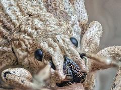 Macho (dayonkaede) Tags: insect jump nature macro herbivores muscle bug weevil olympus em1markii mzuiko digital ed 60mm f28
