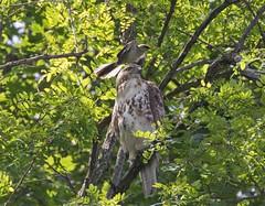 Red-tail mobbed by Mockingbird (Goggla) Tags: greenwoodcemetery rth hawk mockingbird nyc new york brooklyn greenwood cemetery urban wildlife bird raptor red tail